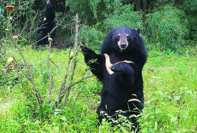 """揭秘""""熊瞎子"""":你以为它们真瞎啊图片"""